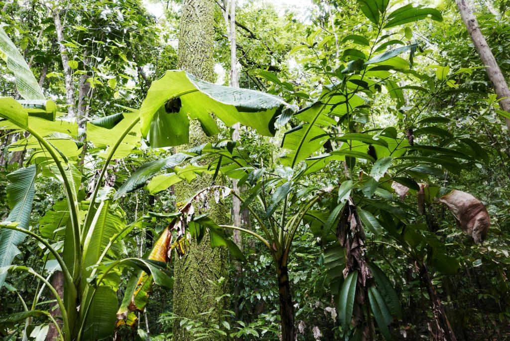 Los murciélagos tienda de campaña buscan cobijo bajo las amplias hojas de una palma baja