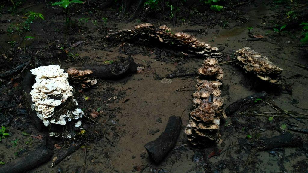 Tres conjuntos de hongos se conglomeran en varios árboles caídos del parque de Corcovado.