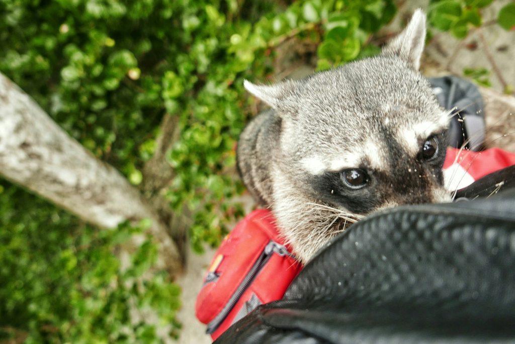 Un pequeño mapache nos abrió la mochila en un descuido (y ya nos habían avisado), ¡cuidado con los ladronzuelos!