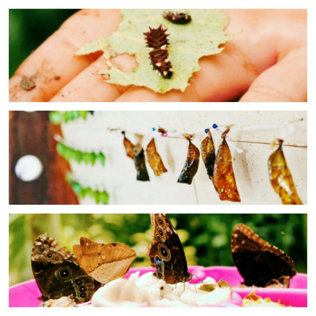 En el mariposario se puede ver por completo el ciclo de vida de la metamorfosis de las mariposas.